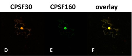 Co-expressing CPSF30 with CPSF160 changes the distribution of CPSF30.