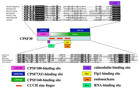Figure 7 from the paper, showing the functional map of the Arabidopsis CPSF30.  This map drawn from other studies and this report. A one-dimensional representation of the amino acid sequence (light blue box) is shown in the center of the figure. The color-coding of the various motifs is described at the bottom of the figure. Amino acid sequence alignments of the plant-specific N-terminal and C-terminal domains are shown above and below the functional map of AtCPSF30, respectively.