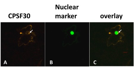 Localization of CPSF30 and a co-expressed nuclear marker.